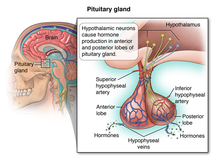 Pituitary Tumor What Is A Pituitary Tumor Pituitary Tumor Symptoms
