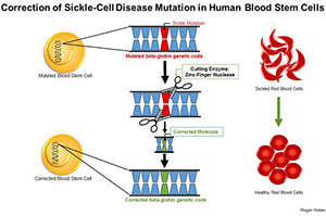 Megan Hoban/UCLA<br>Illustration of sickled blood cells and the ZFN 'cutting' process.