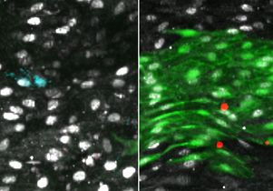 Upon endothelial injury, a subpopulation of previously inactive cells (left) that expressed high levels of Atf3 are triggered to regenerate (green, right).
