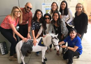 Blue Moon, the mini-horse, visits with the development staff at UCLA Health.