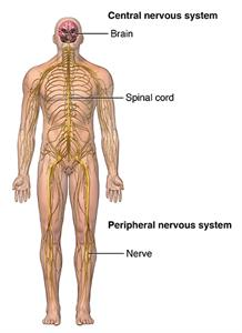central nervous system illustration.  Find information on UCLA Multiple Sclerosis (MS).