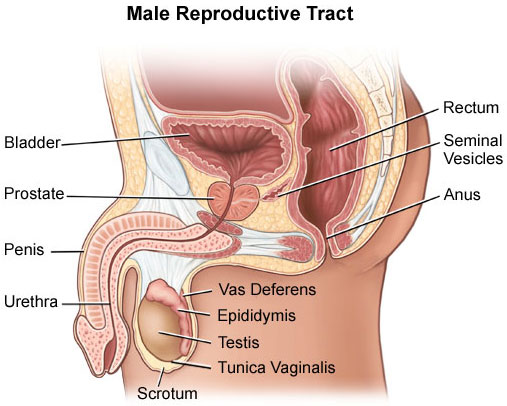 Male Reproductive Tract Illustration UCLA